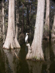 White Egret Bird on a Cypress Tree